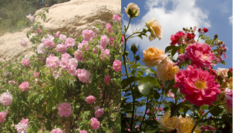 天然のバラ